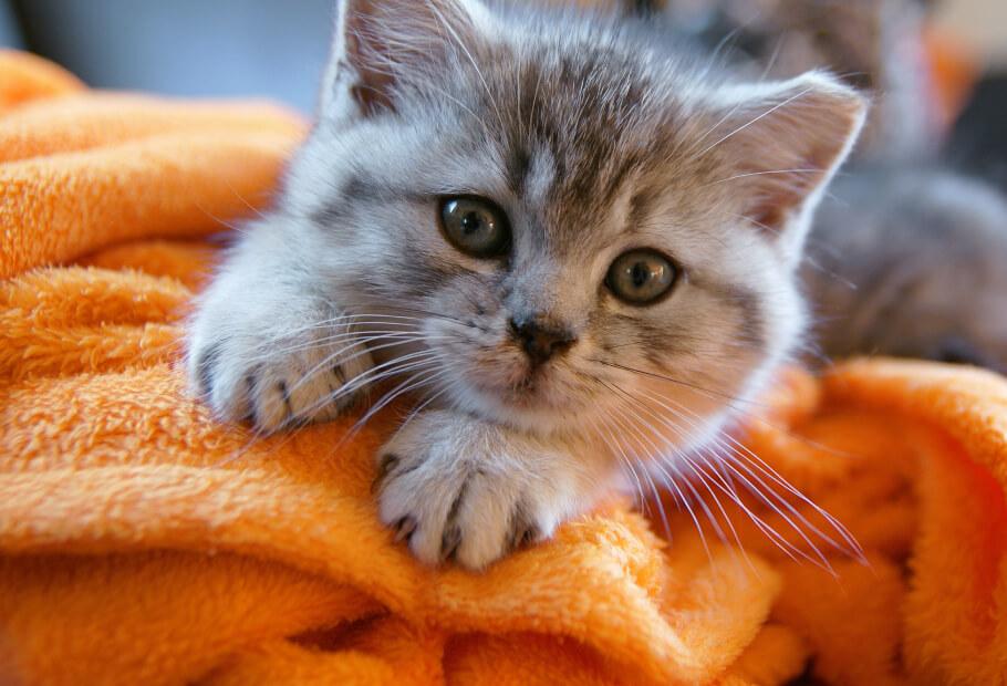Wellness Exams – Kitten
